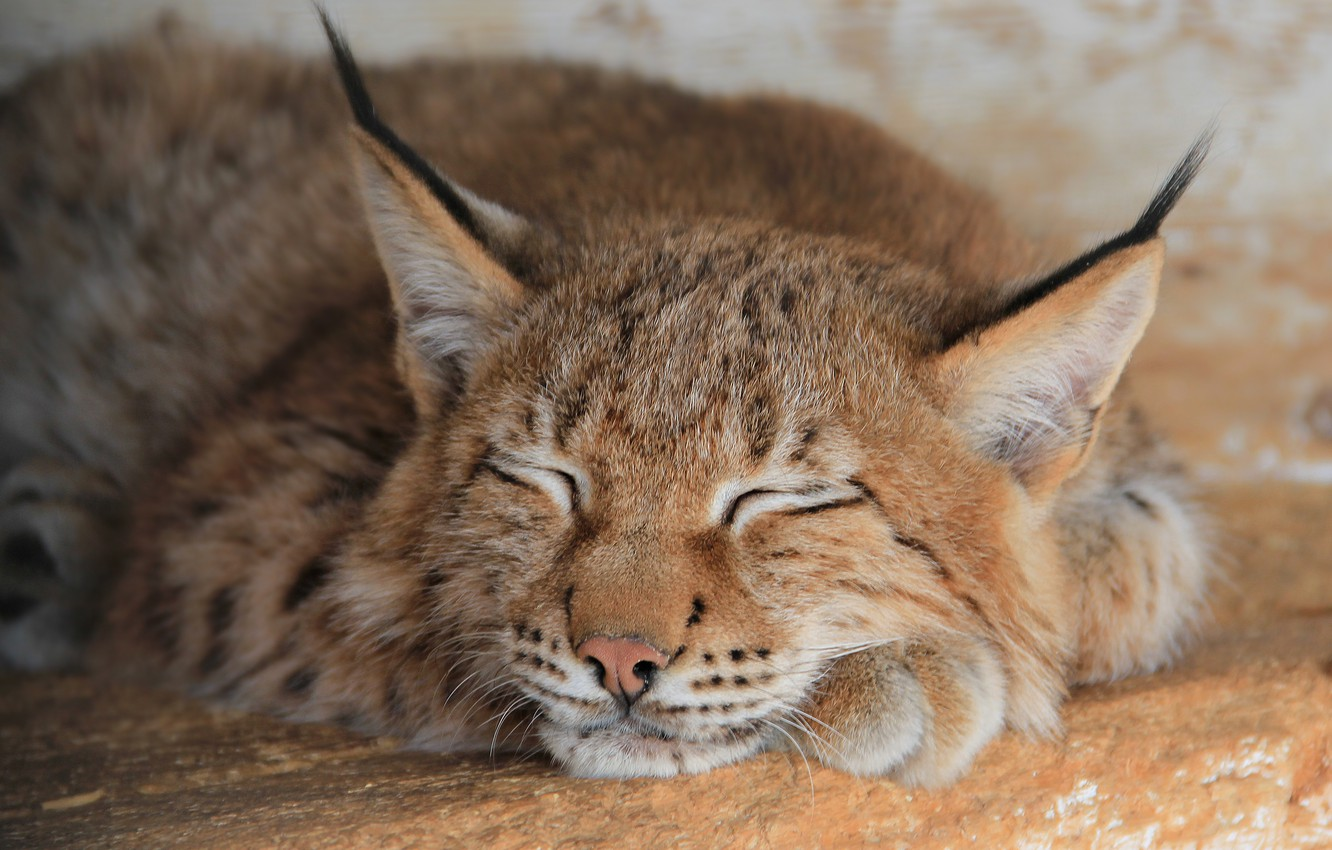 Photo wallpaper stay, paws, lynx