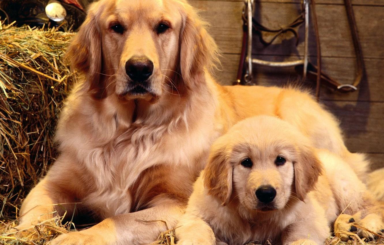 Photo wallpaper dogs, portrait, Family