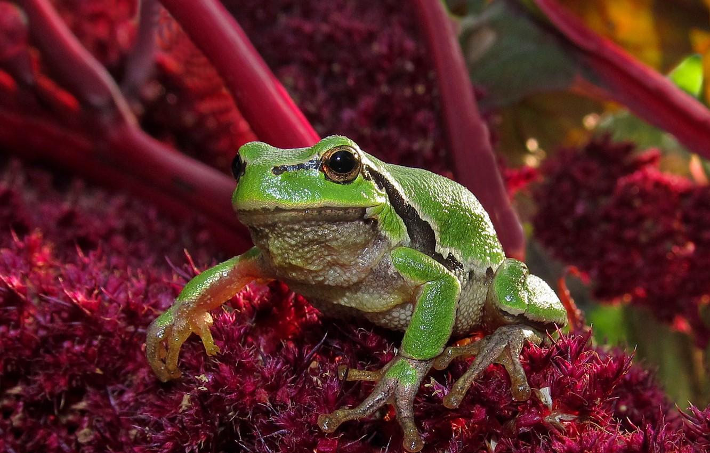 Photo wallpaper Frog, frog, green