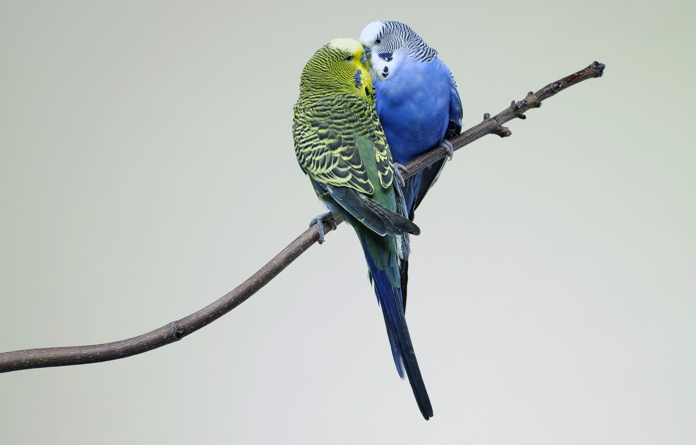 Photo wallpaper Kiss, Love, Birds, Branch, Parrots