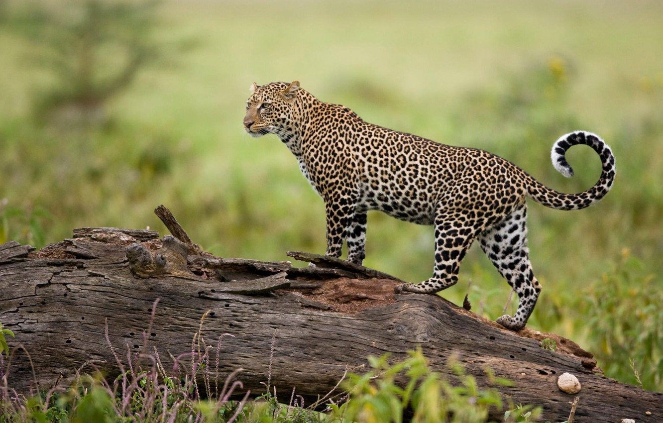 Photo wallpaper nature, predator, leopard