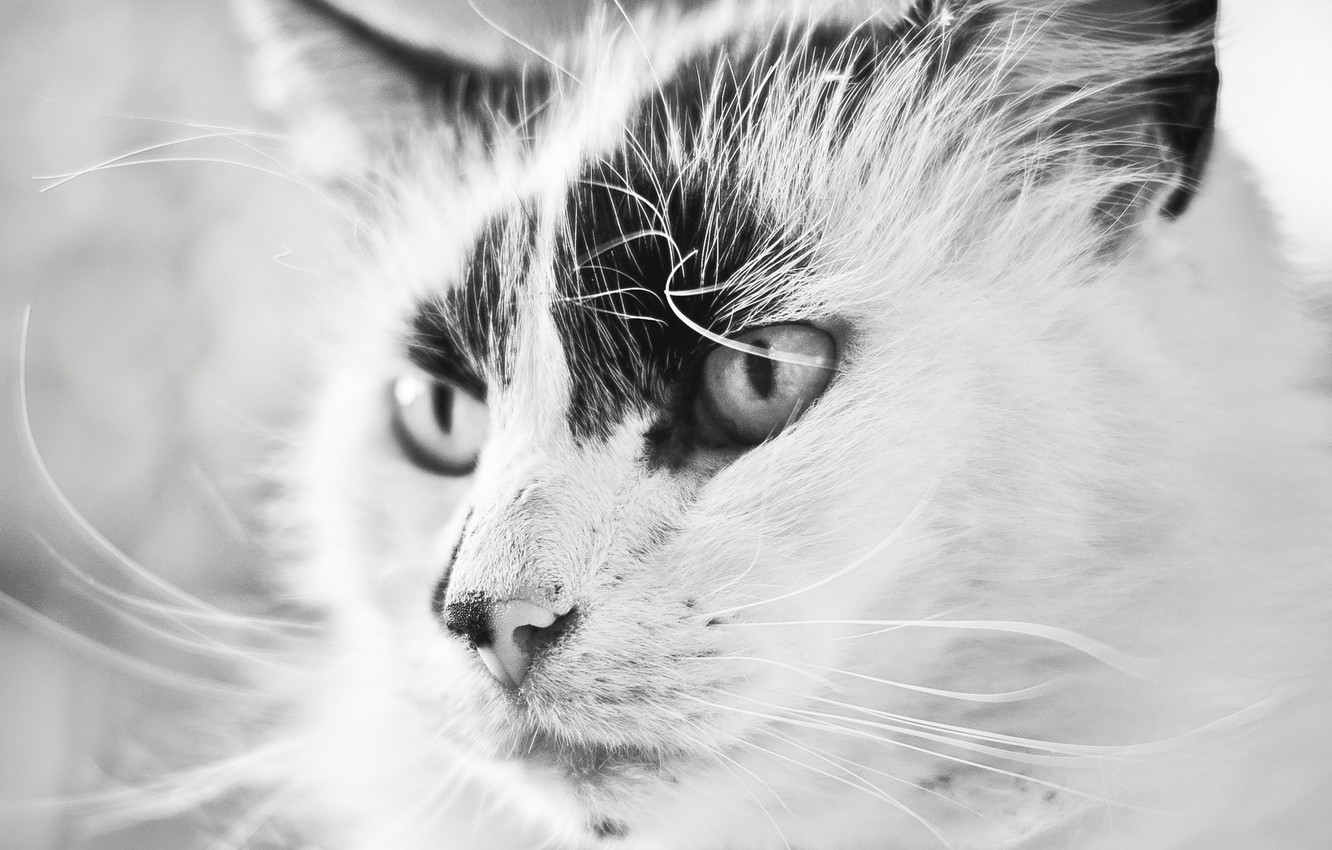 Wallpaper Beautiful Black And White Cat Images For Desktop