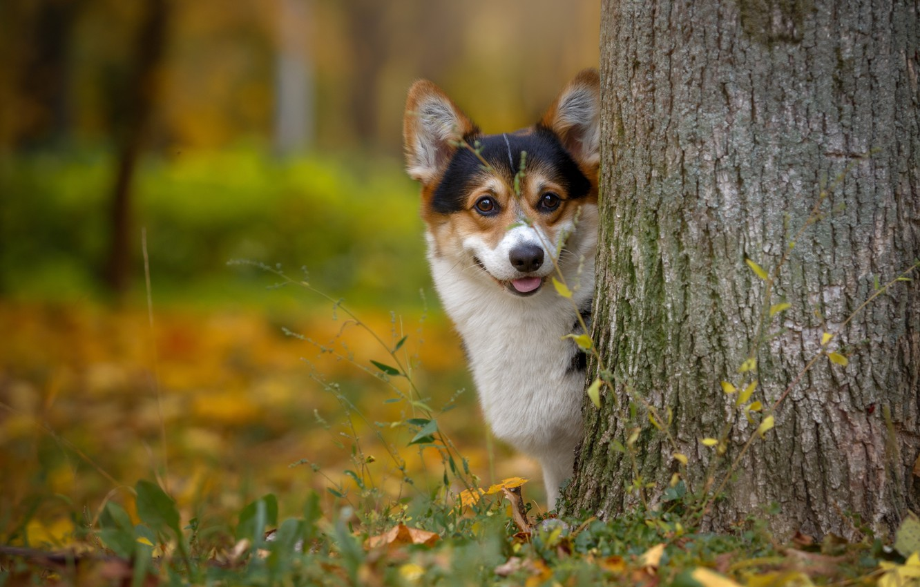 Photo wallpaper tree, muzzle, Corgi