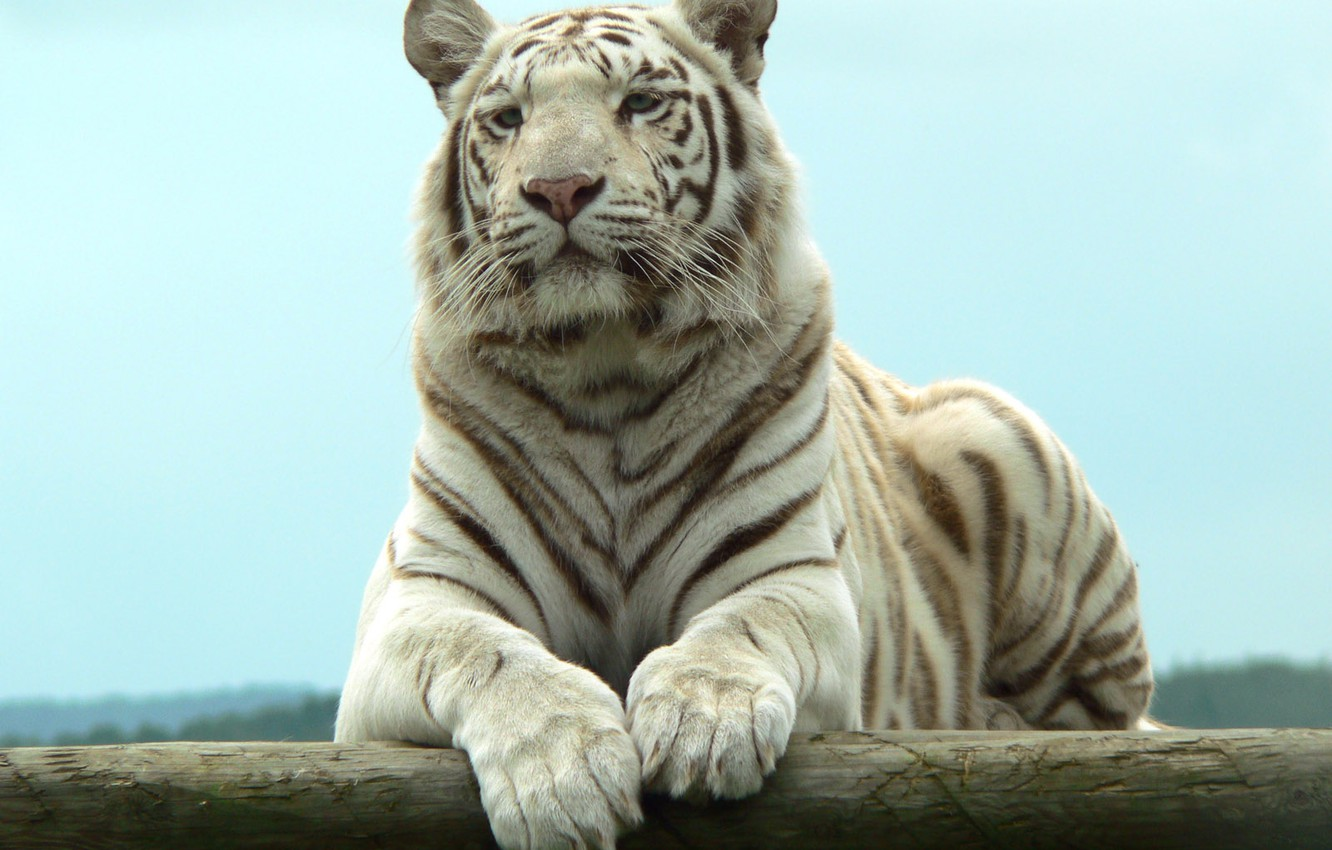 Photo wallpaper stay, predator, white tiger