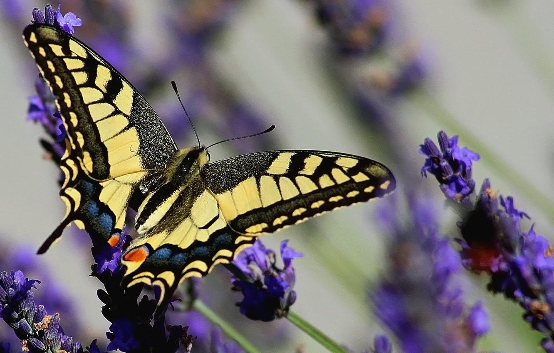 Photo wallpaper butterfly, lavender, swallowtail, Papilio swallowtail, Lavandula
