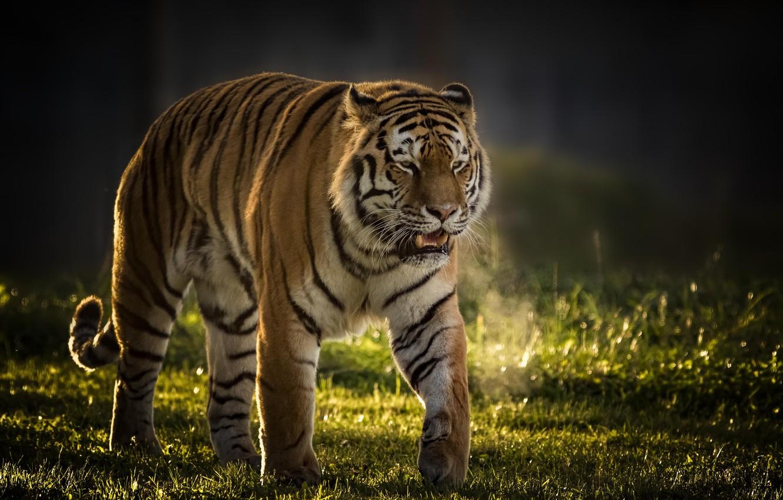 Photo wallpaper tiger, background, predator, wild cat, handsome