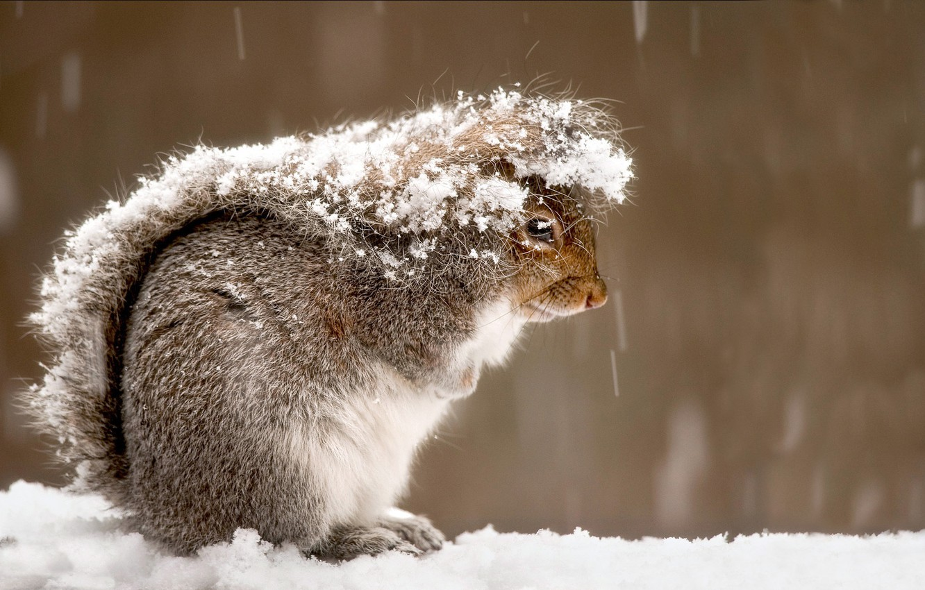 Photo wallpaper TAIL, WOOL, FUR, SNOW, WINTER, FLUFFY, PROTEIN