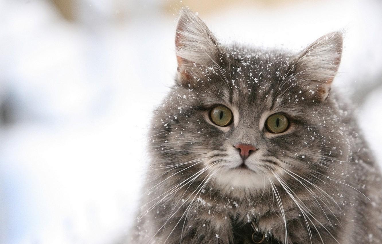 Photo wallpaper cat, eyes, cat, snow, pussy, pussy, eyes, cat, snow
