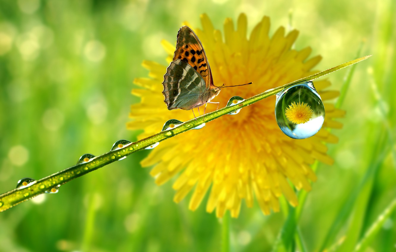 Photo wallpaper reflection, dandelion, butterfly, drop, stem