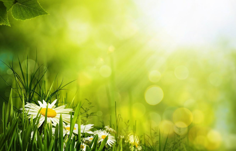 Photo wallpaper grass, flowers, green, petals, Daisy, bokeh