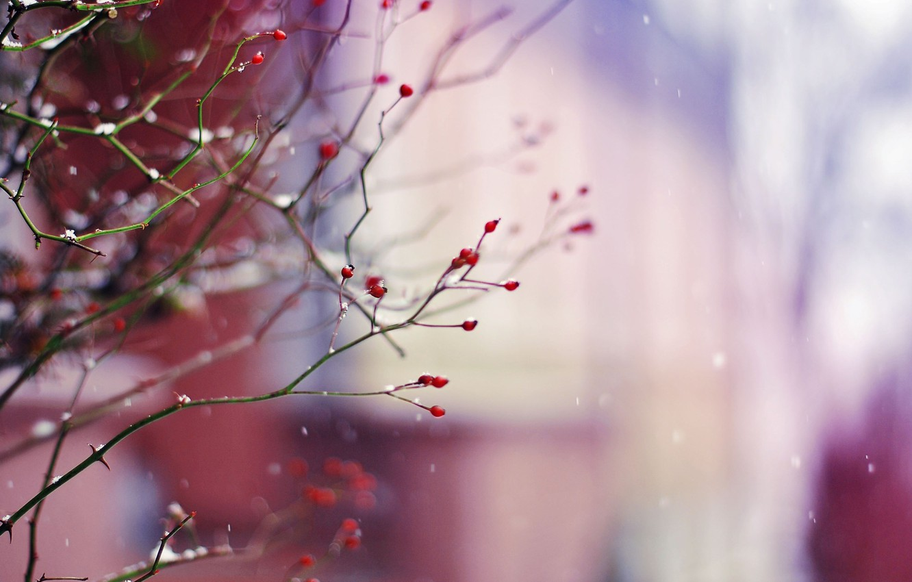Photo wallpaper winter, snow, branches, nature, berries, branch, plant