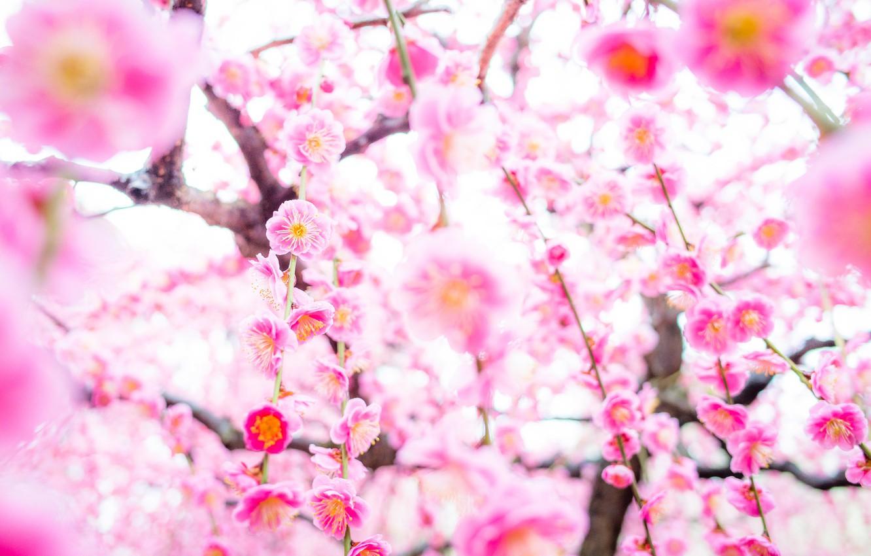 Photo wallpaper tree, spring, Sakura, flowering