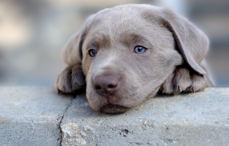Photo wallpaper dog, puppy, face, Labrador Retriever