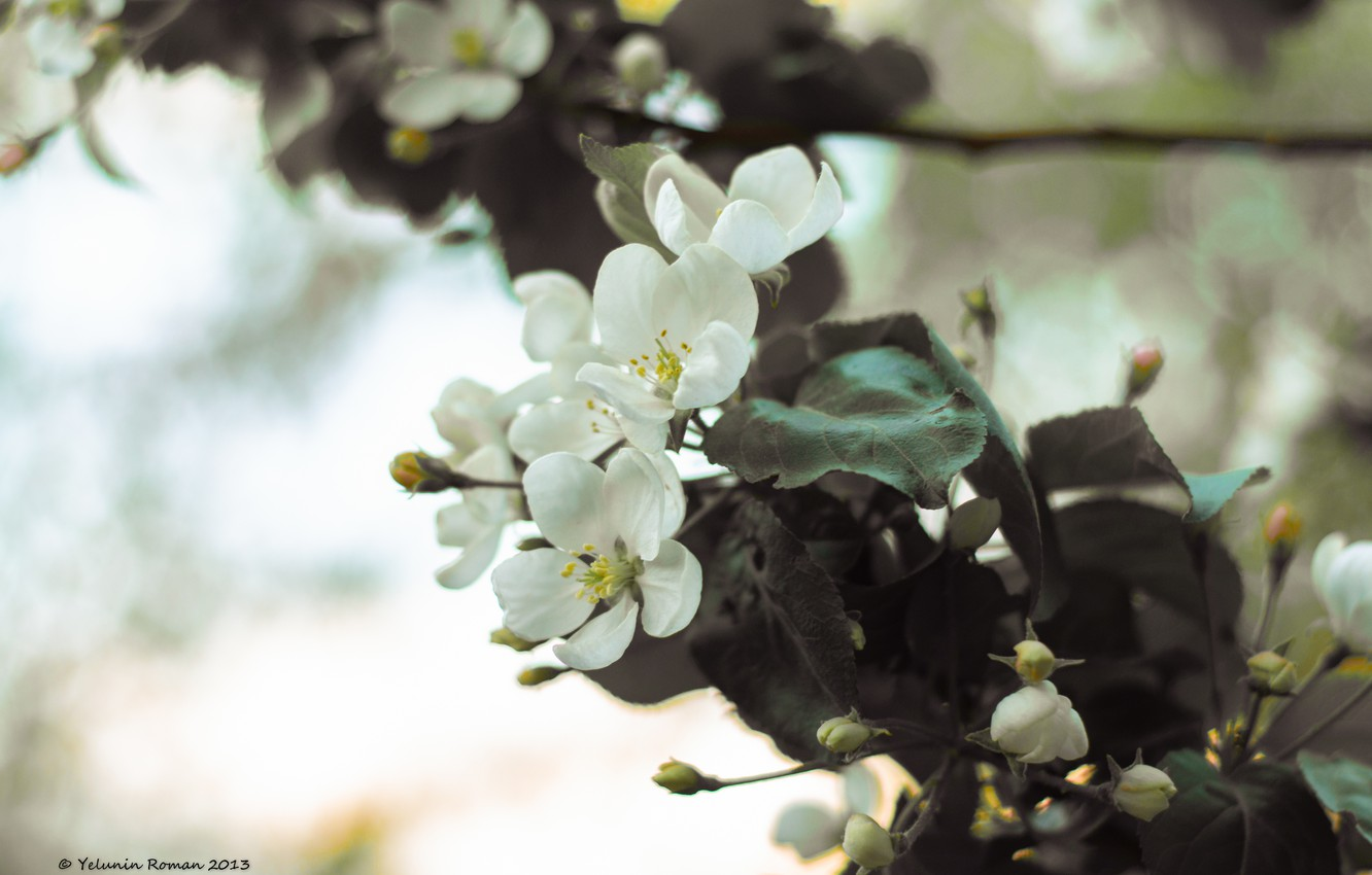 Photo wallpaper the sky, leaves, flowers, color, branch, Apple