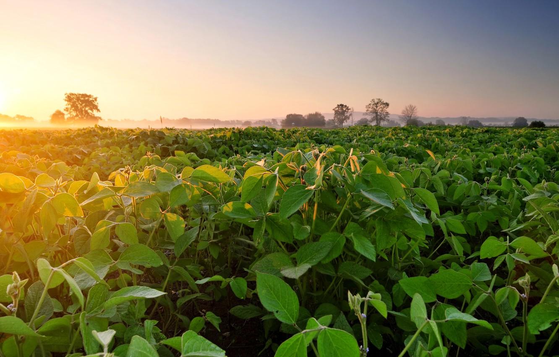 Photo wallpaper field, fog, dawn, morning, plantation, soy, Soybean