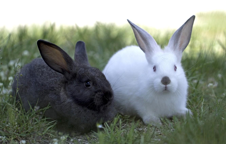 Photo wallpaper white, black, pair, rabbits