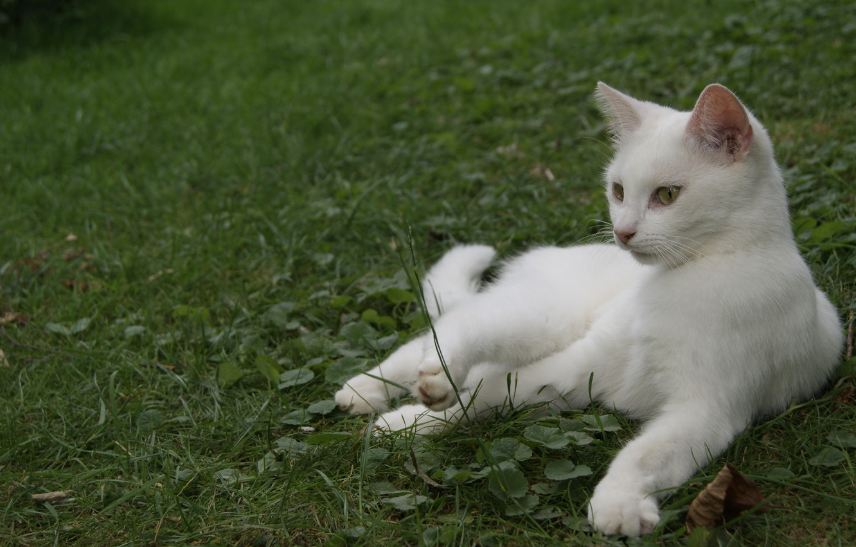 Photo wallpaper cat, white, grass, lies, color