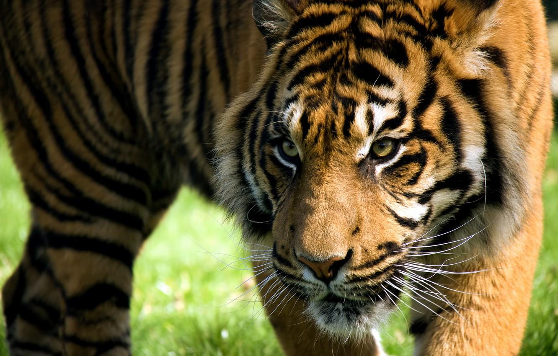Photo wallpaper look, face, strips, tiger, predator, wild cat