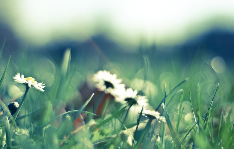 Photo wallpaper grass, macro, flowers, nature, green, glade, chamomile, spring, petals, blur, white, green