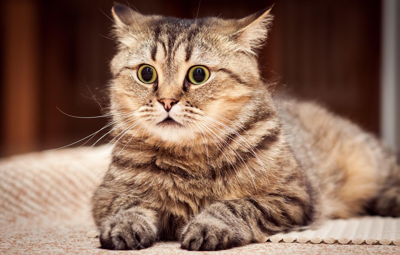 Photo wallpaper cat, look, stoned cat