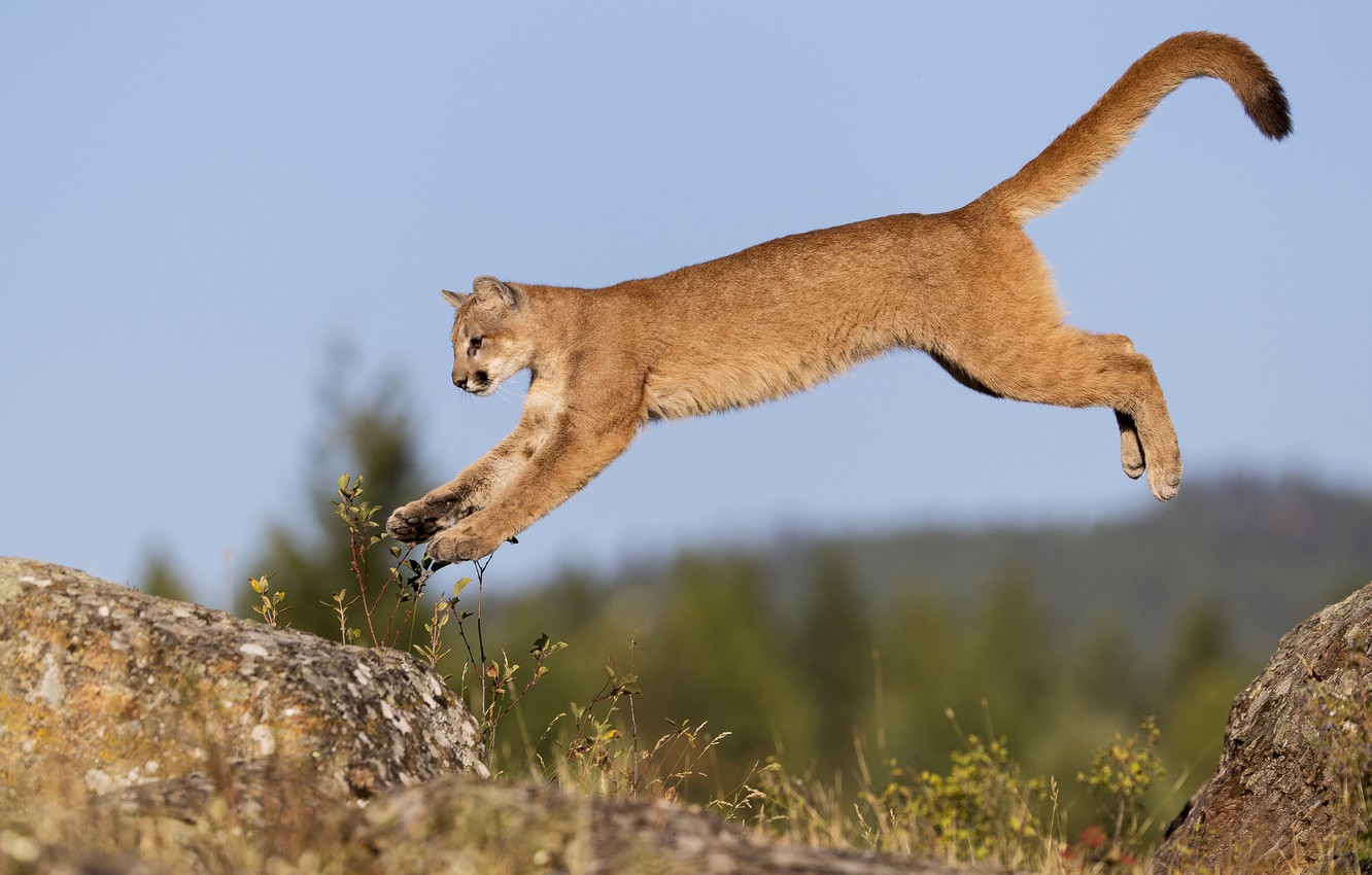 Photo wallpaper cat, the sky, rock, jump, stone, flight, Puma, young, gary samples рhotography