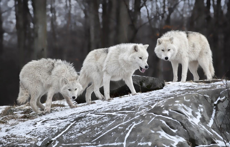 Photo wallpaper nature, predator, family, wolves, winter.snow