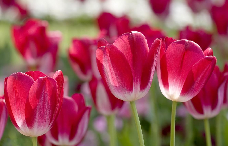 Photo wallpaper petals, blur, tulips, pink