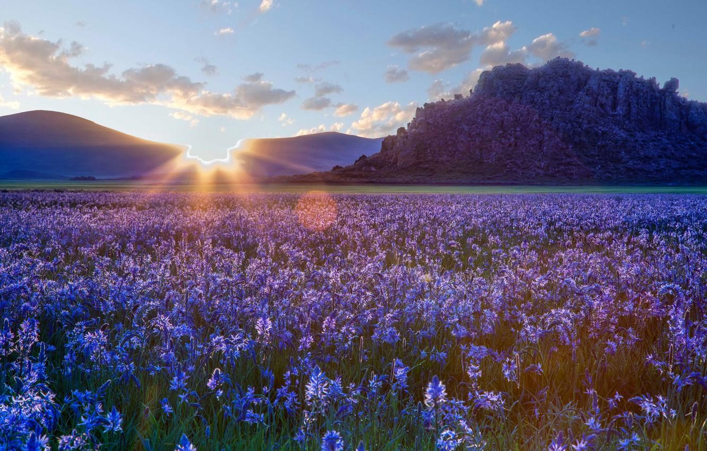 Photo wallpaper flowers, the steppe, sunrise, dawn, Prairie, Idaho, Idaho, camassei, Camas prairie