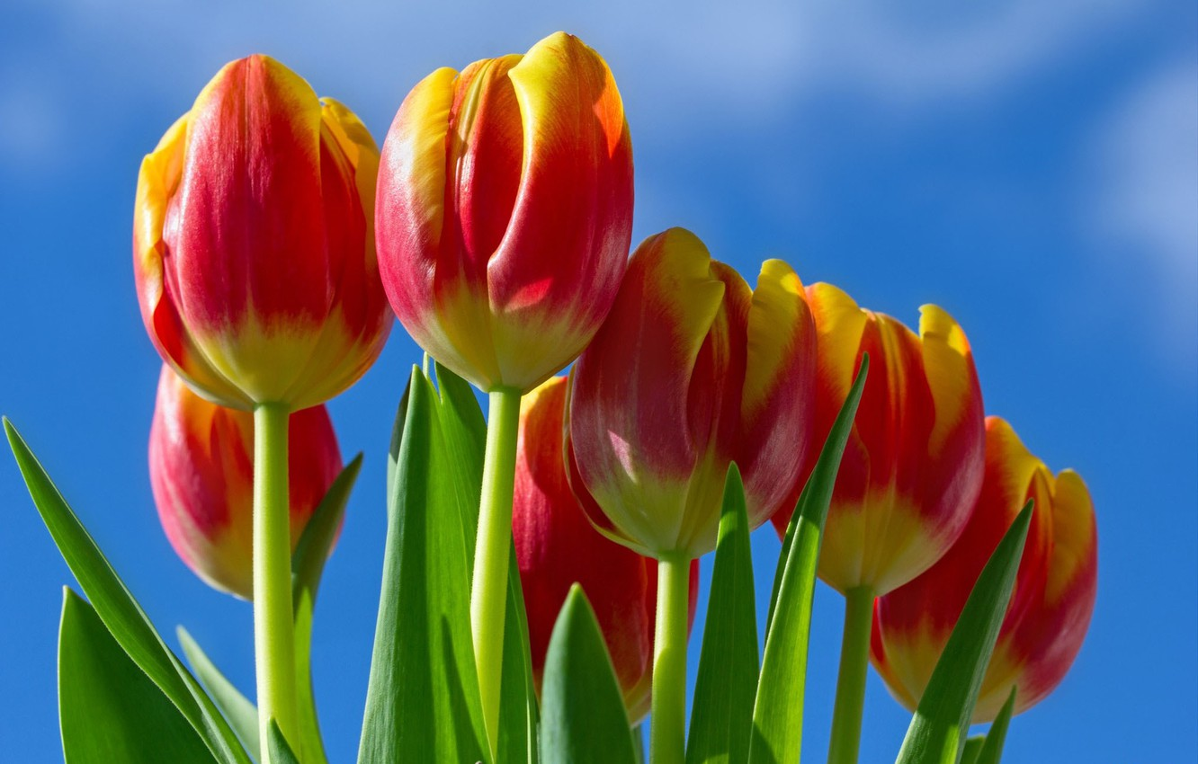 Photo wallpaper the sky, tulips, red - yellow