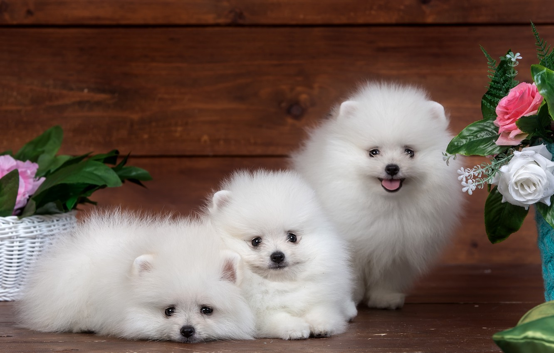 Photo wallpaper white, flowers, fluffy, cute, puppy, trio, funny, Spitz