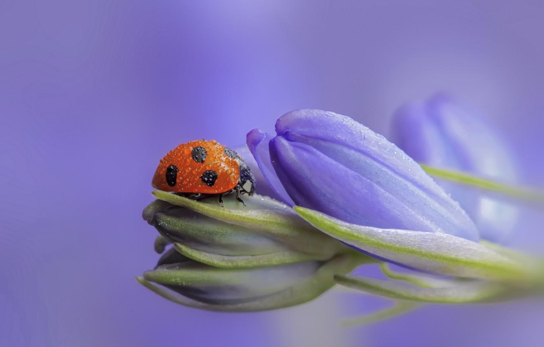 Photo wallpaper flowers, ladybug, buds, lilac, bokeh, drops of dew