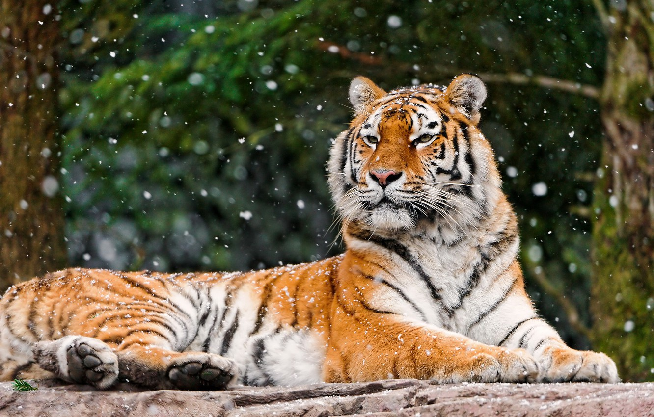 Photo wallpaper winter, forest, face, snow, tiger, background, stone, lies, looks, falls, a large striped cat, Panthera …