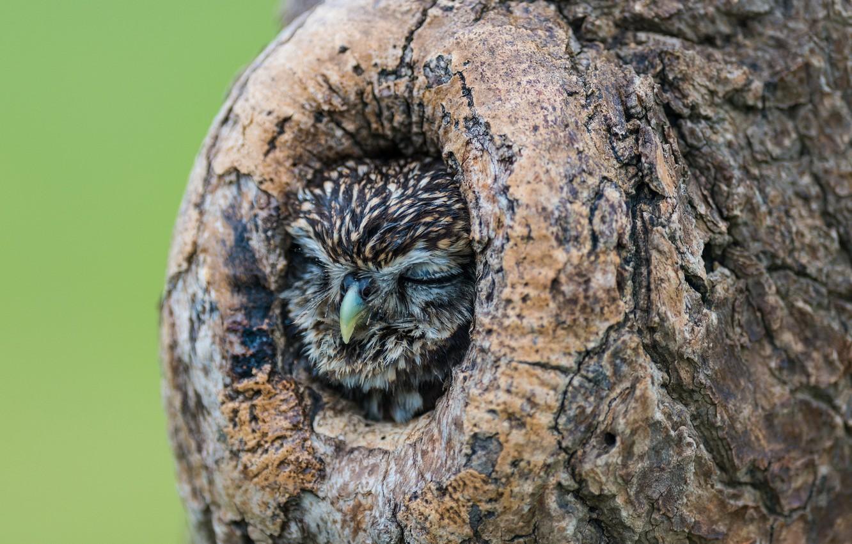 Photo wallpaper nature, tree, owl, sleeping, the hollow