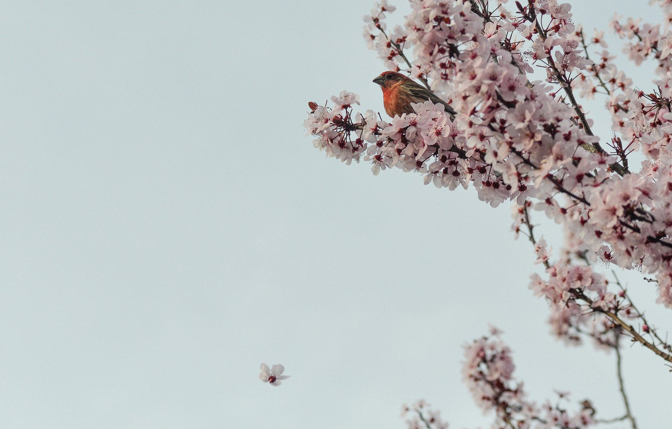 Photo wallpaper flowers, branches, cherry, tree, Sakura, bird