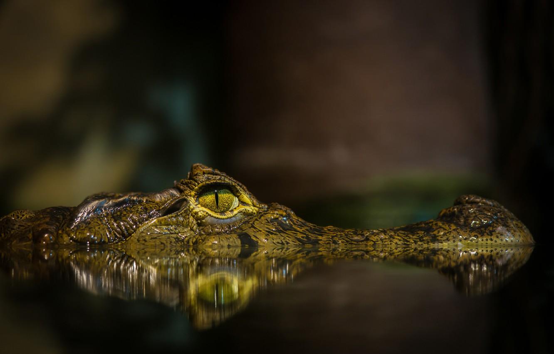 Photo wallpaper face, water, eyes, pond, crocodile