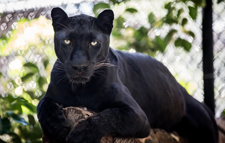 Photo wallpaper face, stay, predator, Panther, lies, wild cat, © James Scott, black leopard