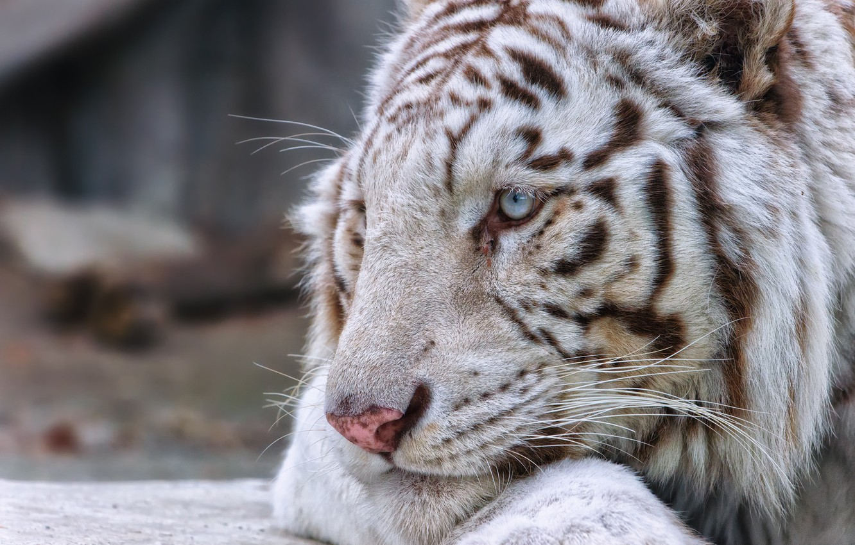 Photo wallpaper cat, face, profile, white tiger