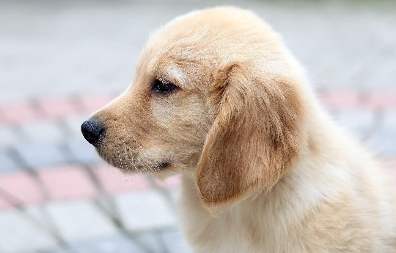 Photo wallpaper dog, puppy, Retriever