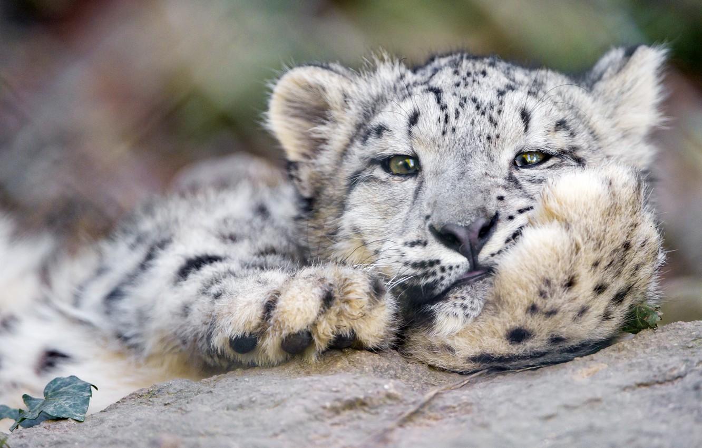 Photo wallpaper cat, face, IRBIS, snow leopard, ©Tambako The Jaguar