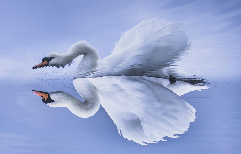 Photo wallpaper lake, Swan, otrozhenie