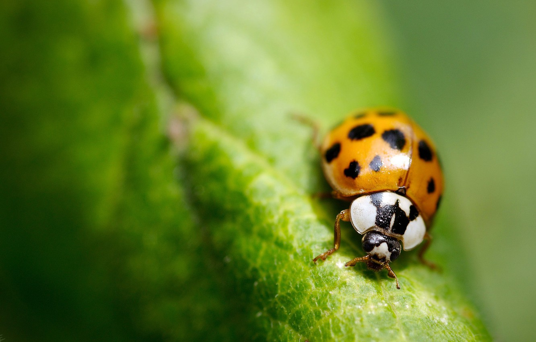 Photo wallpaper greens, macro, sheet, ladybug, insect
