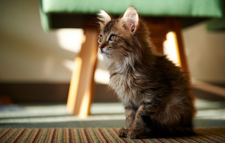 Photo wallpaper look, carpet, floor, kitty, sitting, looks, taburetka