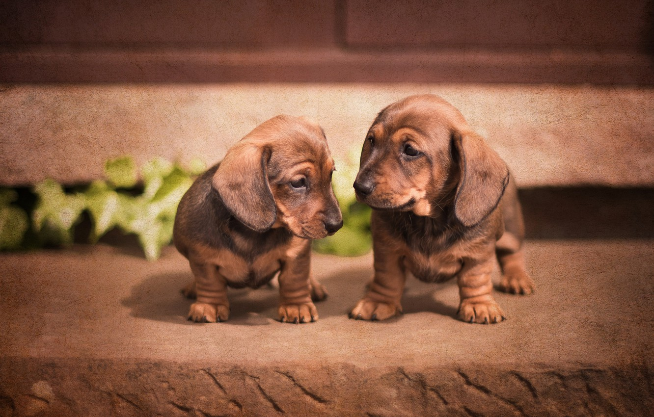 Photo wallpaper dogs, puppies, Dachshund, a couple, twins
