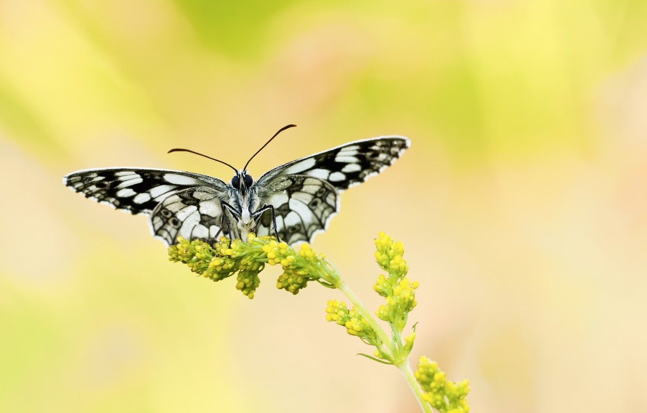 Photo wallpaper flower, yellow, background, butterfly, plant, black and white