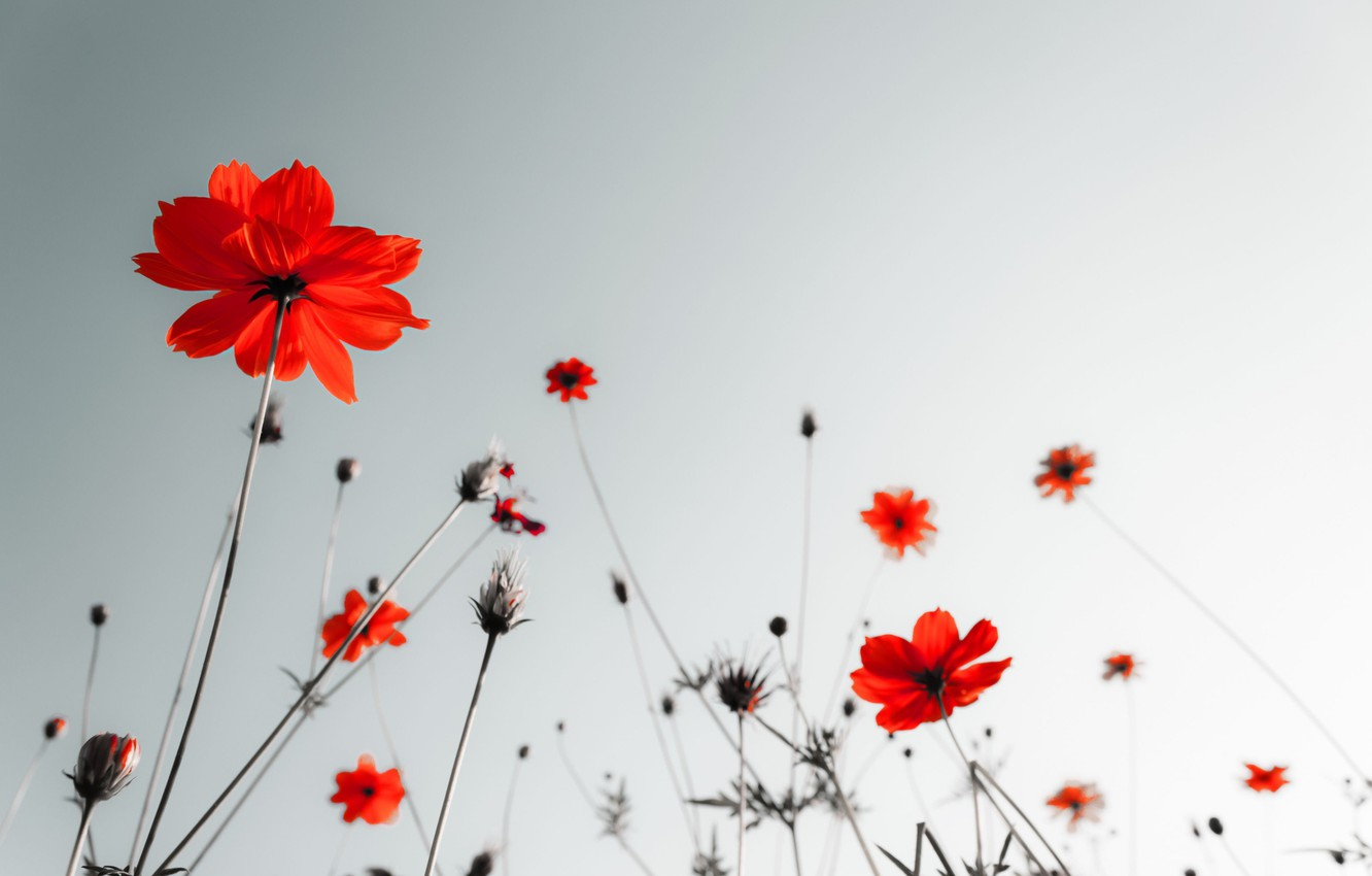 Wallpaper White Flowers Red Background Widescreen