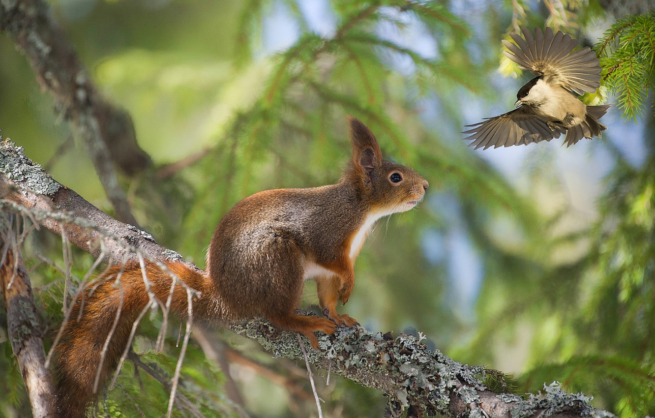 Photo wallpaper forest, tree, bird, meeting, branch, protein, red, bokeh