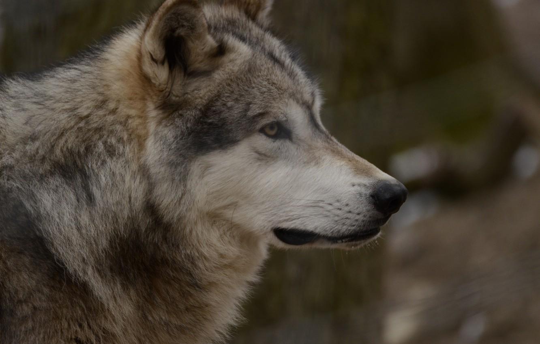 Photo wallpaper look, wolf, predator, aviary