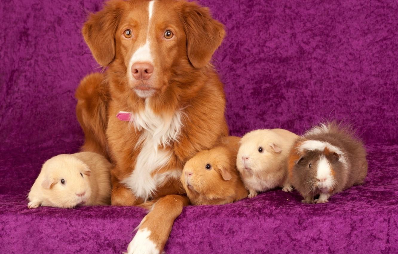 Photo wallpaper sofa, dog, Guinea pigs