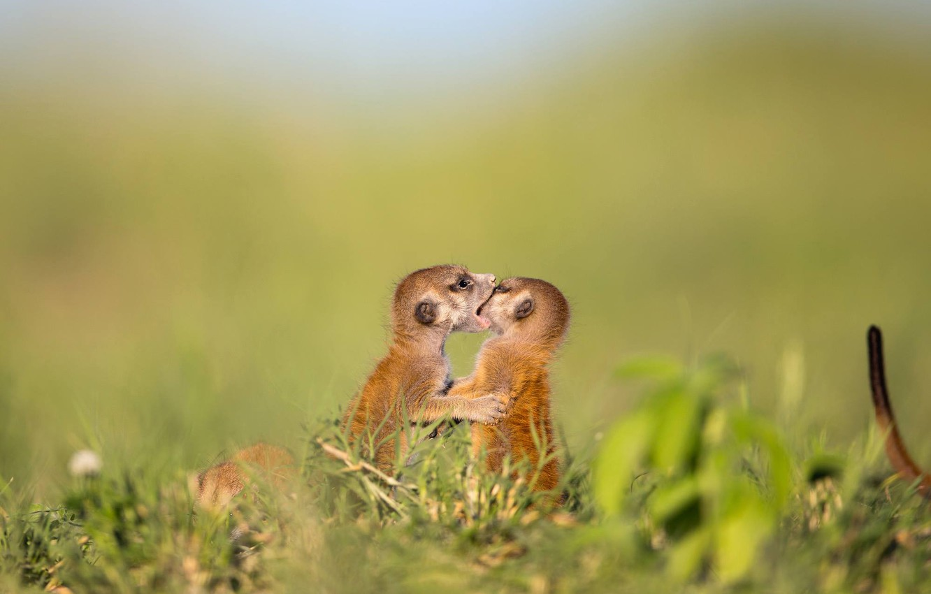 Photo wallpaper field, meerkats, puppies, wildlife, meerkat