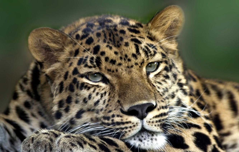 Photo wallpaper cat, eyes, mustache, face, animal, paw, predator, head, wool, leopard, skin, color, beast, ears, between, …